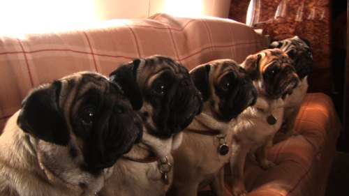 pugs, Valentino's pets, pic sourcing from www.valentinomovie.com